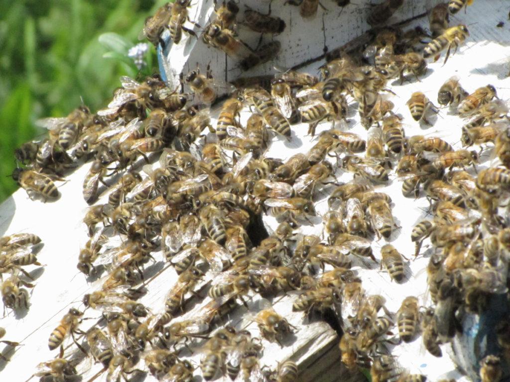 Pszczoły, fot.Sylwia Łojek